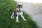 cute alaskan malamute puppies for sale.
